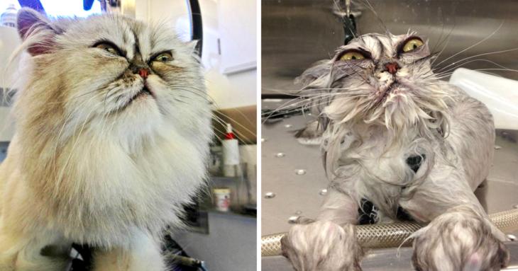 Gato enojado antes del baño, gato más enjoado mientras lo bañan