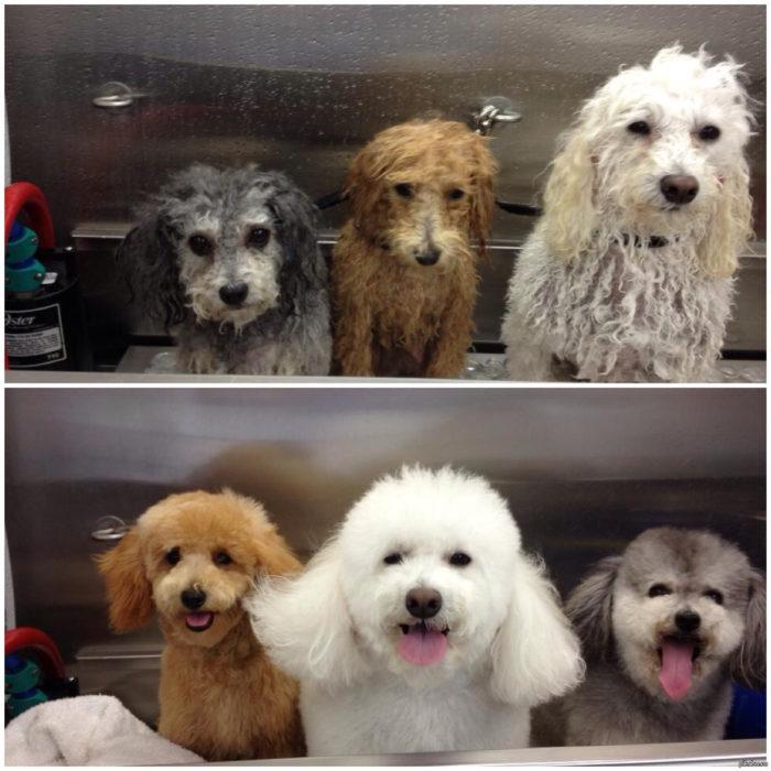 Tres perritos mojados con cara de susto, los mismos perritos y asecos y peinados con cara de felicidad