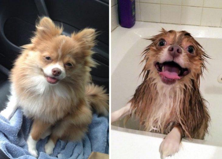 Perrito pomeriano en el carro, perrito pomeriano mojado mientras lo bañan