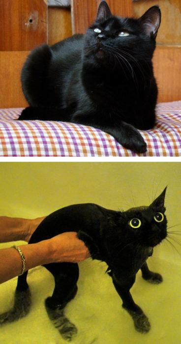 Gato negro elegante antes del baño, gato asustado flaquito durante su baño