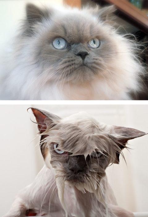 Gato esponjoso antes y durante el baño