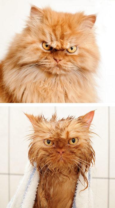 Gato con cara de enojado antes del bañoy con cara de enojado durante su baño