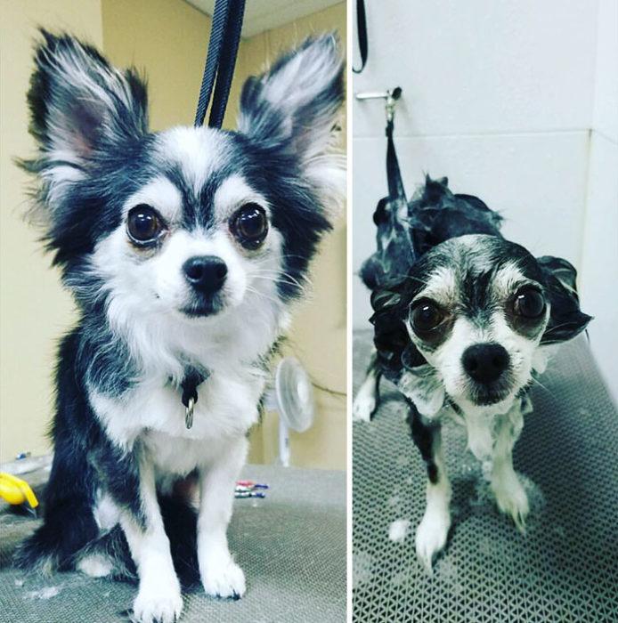 Perrito blanco con negro antes y después del baño