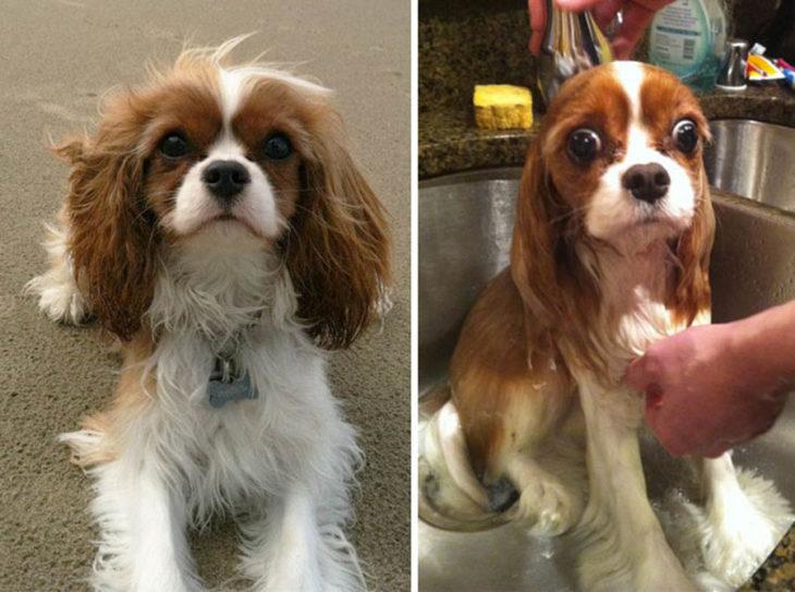 Perrito cocker antes y después del baño