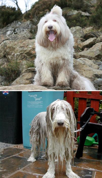 Perro grande peludo antes del baño y durante el baño con cara de nefasto