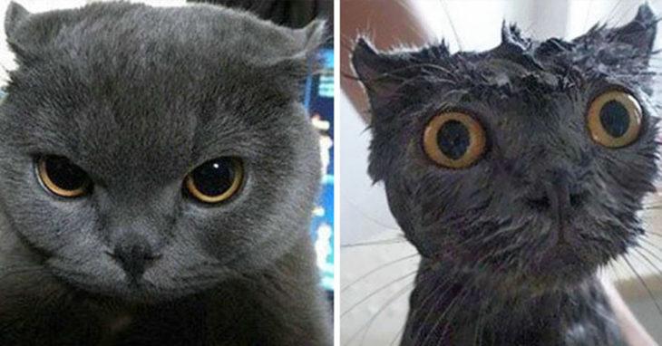 Gatito gris con mirada enojada antes del baño, y el mismo gato con cara de susto mientras lo bañan