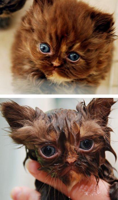 Gatito tierno chiquito antes del baño y gatito tierno con cara de susto mientras lo bañan