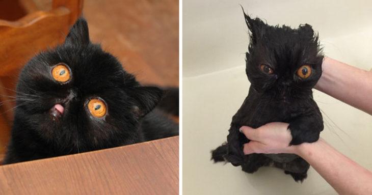 Gato negro con ojos miel antes del baño y durante el baño con cara de enojo