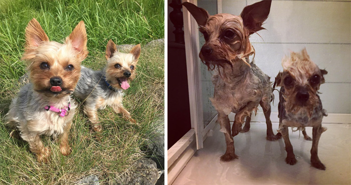 Dos perritos felices antes del baño y dos perritos asustados todos mojados