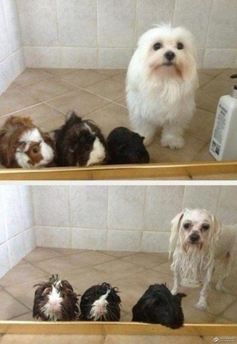 Perrito y hamsters antes del baño, y durante el baño