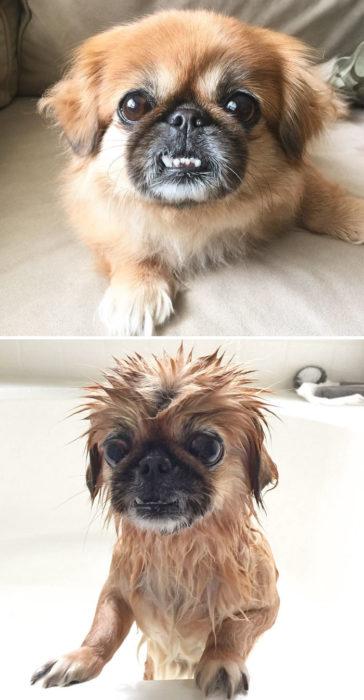 Perrito cafe chiquito antes del baño y durante su baño