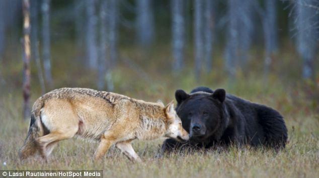 osoy loba defrente