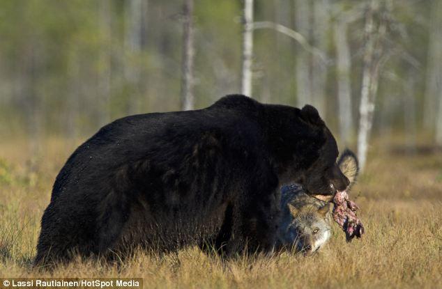 comida oso