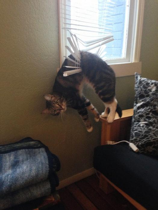 Gato atorado en persiana