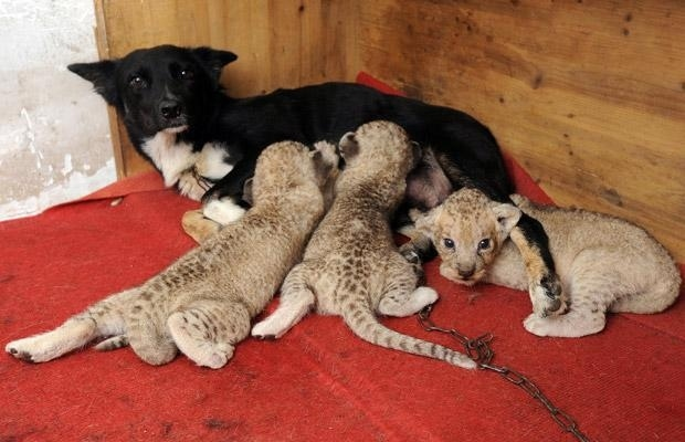 leones perro