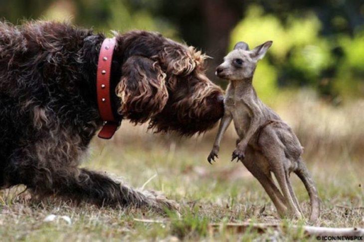 perro y canguro