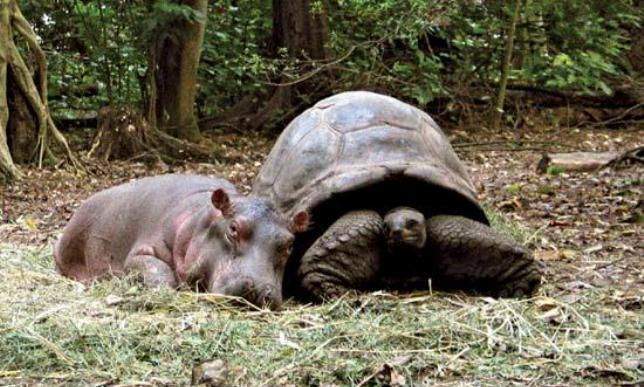 hipopotamo y tortuga