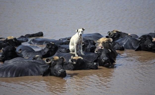perro y bufalos