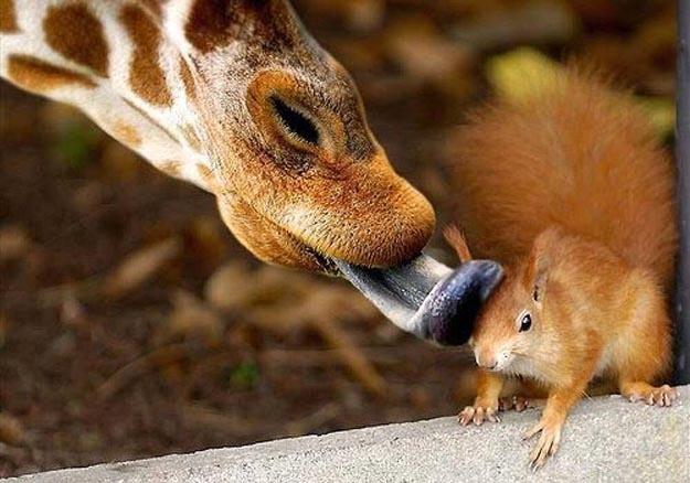 girafa ardilla