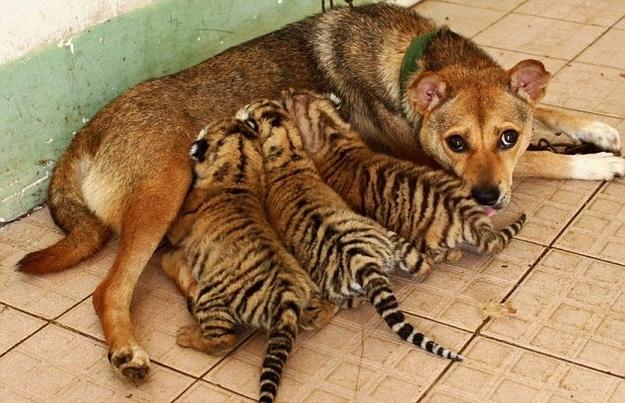 mama de tigrillos
