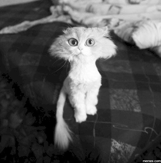 gato corte pelo