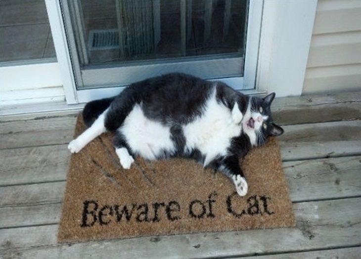 Gatos enormes y gordos