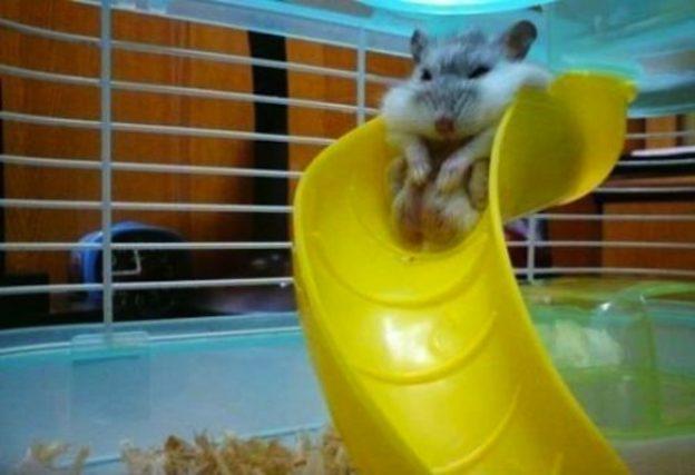 Hamster atorado