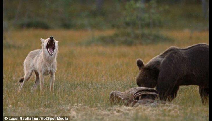 aullando lobo y oso