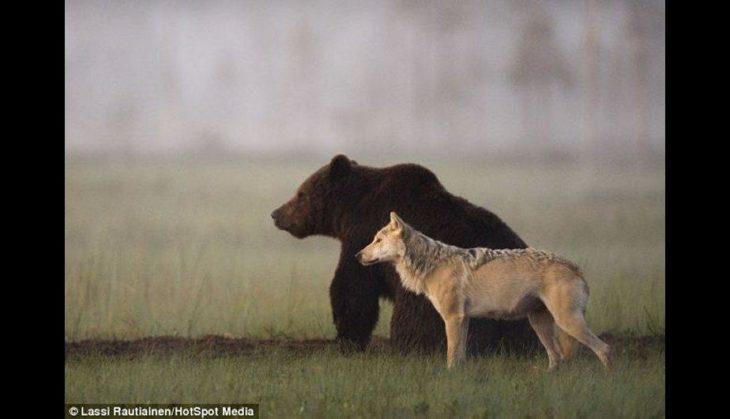 loba y oso