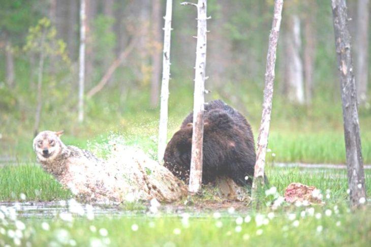 oso y loba jugando