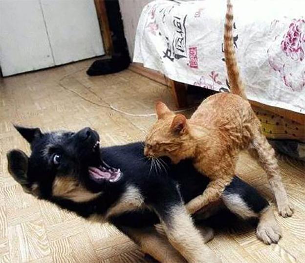 Pelea entre perro y gato