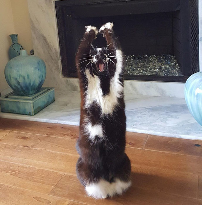 gato patas arriba