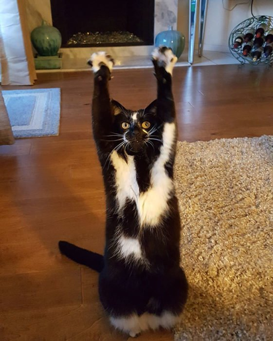 gato patas arirba