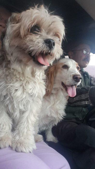dos perritos con hombre en coche