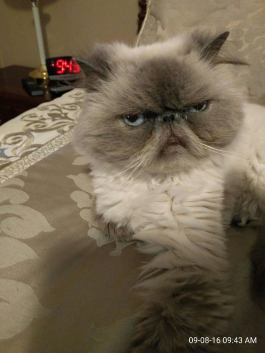 gato enojado al lado de una alarma