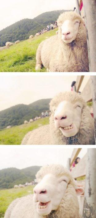 oveja sonriendo