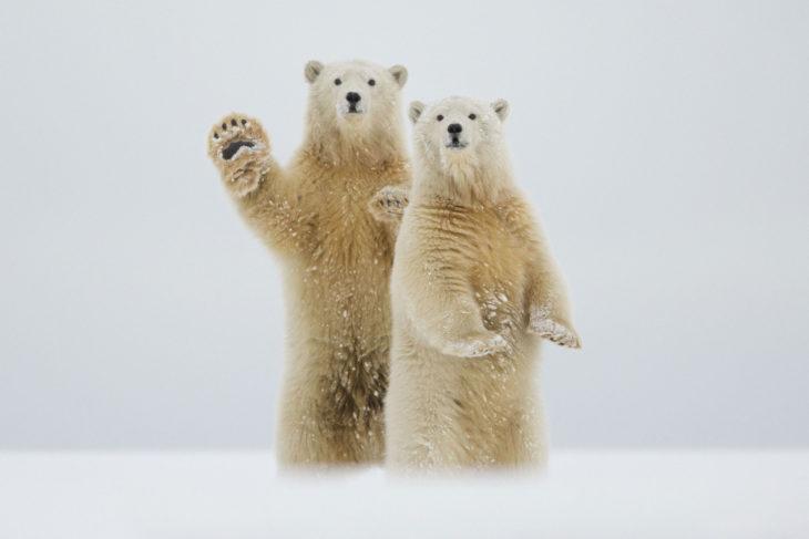 dos osos polares de pie