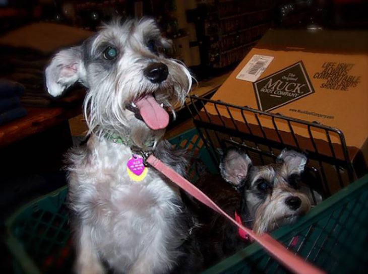 dos perros en carrito de compras