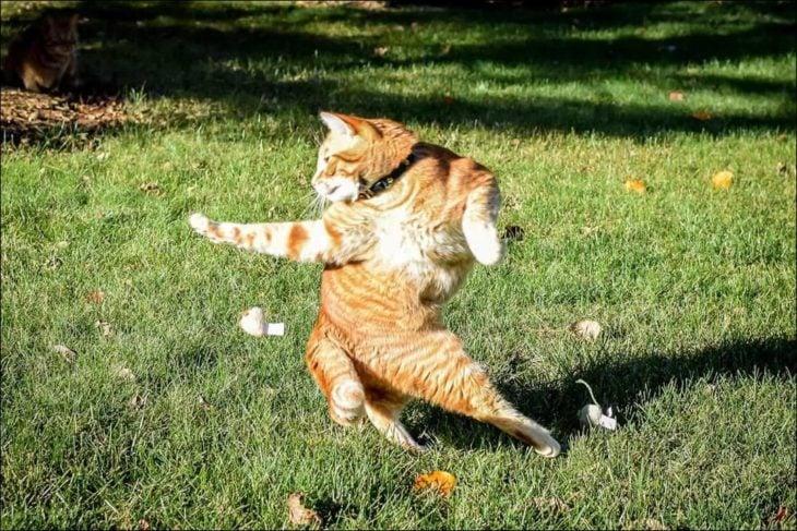 gato bailando