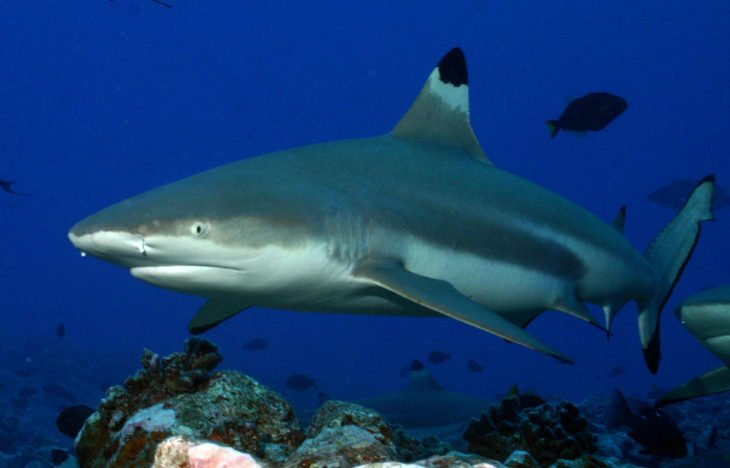 tiburón de puntas engras híbrido