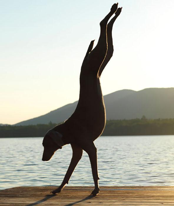 perro parado en patas delanteras