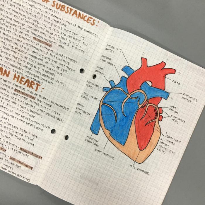 dibujo anatomía de un corazón