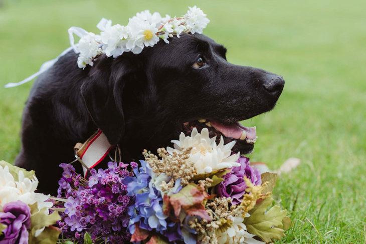 labrador negro con flores