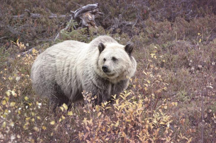 oso grolar