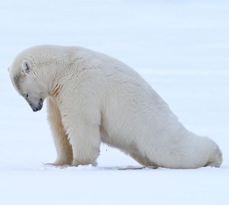 oso polar estirando