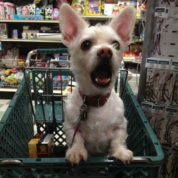 perro sorprendido en carro de compras