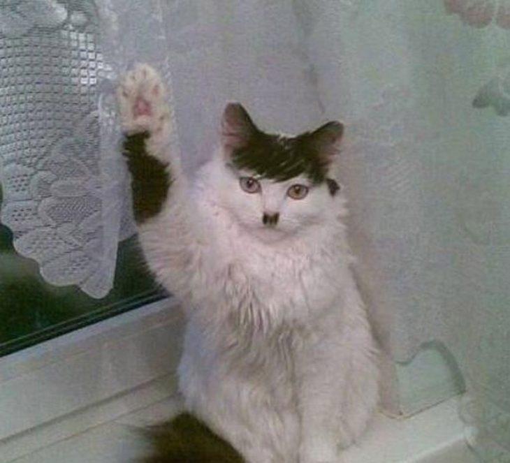 gato que parece hitler