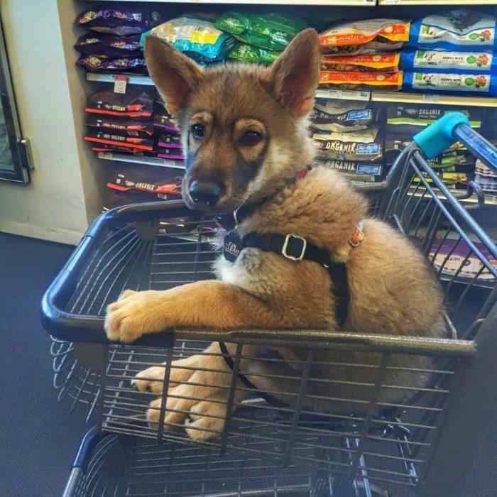 cachorrod e pastor alemán en carro de compras