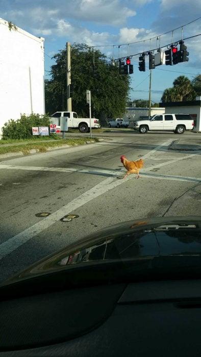 gallina cruzando un amino