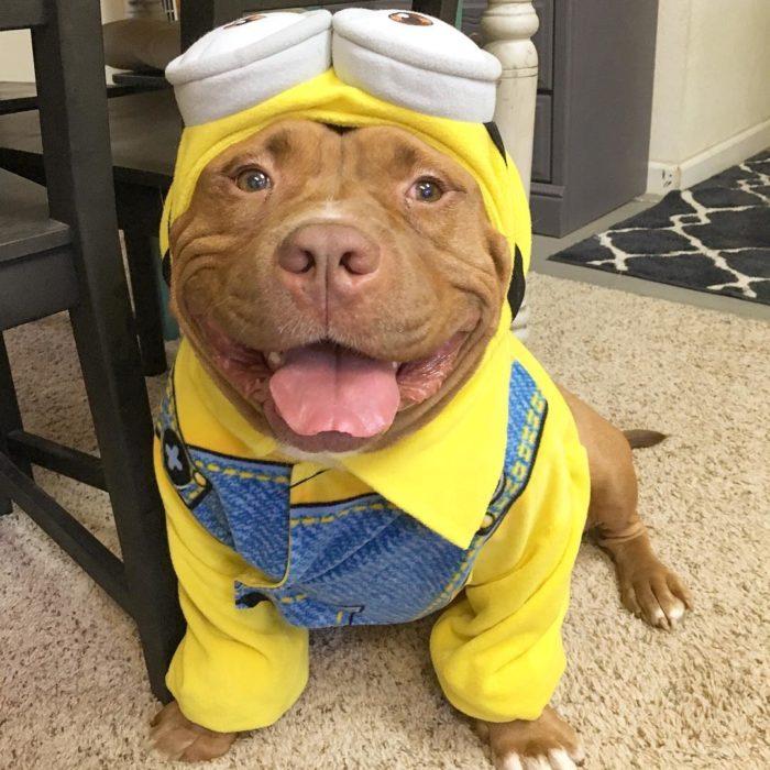 perro vestido de minion